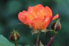 美丽的橙黄色玫瑰在有雨珠的庭院里 库存图片