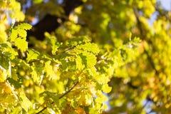 美丽的橡木叶子在秋天 免版税库存照片