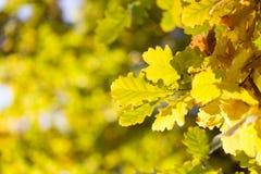 美丽的橡木叶子在秋天 免版税库存图片