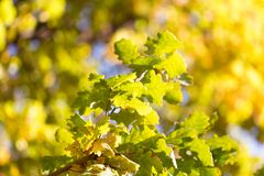 美丽的橡木叶子在秋天 库存图片