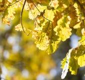 美丽的橡木叶子在秋天 图库摄影