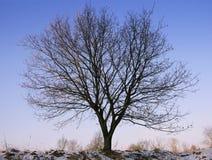 美丽的橡树在冬天 免版税库存图片
