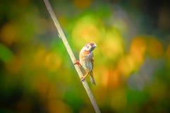 美丽的欧亚麻雀鸟栖息处 库存图片