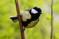 美丽的歌曲鸟有夏天背景 了不起的山雀,帕鲁斯少校,黑和黄色歌手坐美味的地衣树麸皮 免版税图库摄影