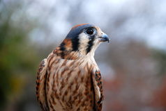 美丽的殷勤鸟 免版税库存照片