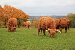 美丽的母牛群高地 库存照片