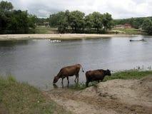 美丽的母牛画象,喝从河在晚上 7个动物动画片农厂例证系列 免版税库存照片