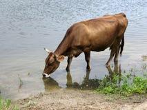 美丽的母牛画象,喝从河在晚上 7个动物动画片农厂例证系列 免版税图库摄影