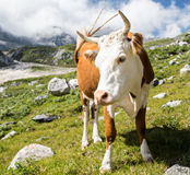 美丽的母牛 库存照片