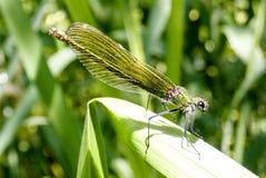 美丽的母金属青绿的蜻蜓特写镜头在芦苇的 库存图片