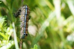 美丽的毛虫在乔治亚,欧洲 库存图片