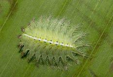 美丽的毛虫被看见在巴德拉普尔 库存图片