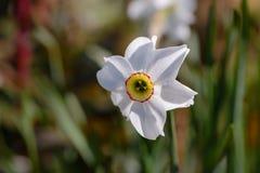 美丽的水仙开花与白色瓣和一个黄色语科库 免版税图库摄影