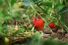 美丽的水多的草莓 库存照片