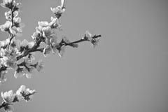 美丽的油桃开花开花在黑白对比的春天的树 免版税库存照片