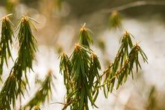 美丽的沼泽labradors在一个自然生态环境 免版税库存图片