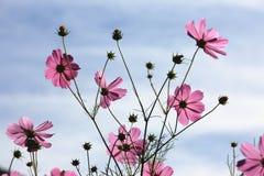 美丽的波斯菊花和芽有蓝天背景 库存照片