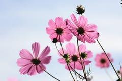 美丽的波斯菊花和芽 免版税库存图片