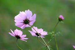 美丽的波斯菊花 库存图片