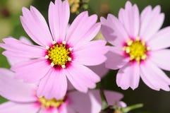 美丽的波斯菊花 免版税库存图片