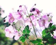 美丽的波斯菊花 库存照片