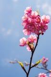 美丽的泰国樱花 库存照片