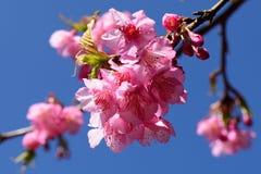 美丽的泰国的樱花 库存图片