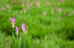 美丽的泰国郁金香 图库摄影