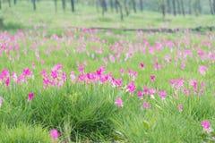 美丽的泰国郁金香 免版税库存图片