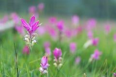 美丽的泰国郁金香 免版税图库摄影