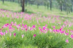 美丽的泰国郁金香 库存照片