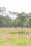 美丽的泰国郁金香 免版税库存照片