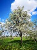 美丽的洋梨树在春天 免版税库存图片