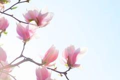 美丽的浅粉红色的木兰在蓝天背景开花 低角度视图 被定调子的图象 库存图片