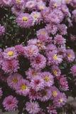 美丽的浅紫色的翠菊在庭院里 免版税库存照片