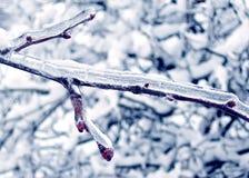 美丽的浆果红色雪冬天 库存照片