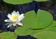 美丽的浪端的白色泡沫百合在有叶子的池塘 免版税库存照片