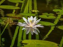 美丽的浪端的白色泡沫百合或莲花Marliacea Rosea在池塘的黑镜子被反射有绿色leav的反射的 库存图片