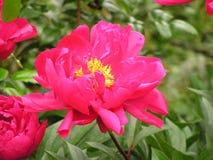 美丽的海岸线桃红色玫瑰 库存图片