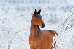 美丽的海湾马在不可思议的冬天森林里 免版税库存图片