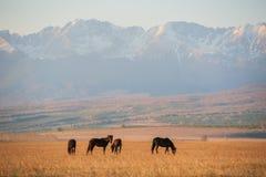 美丽的海湾马牧群在山吃草在日落,惊人的行家晴朗的自然本底 免版税库存图片