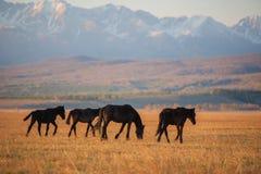 美丽的海湾马牧群在山吃草在日落,惊人的行家晴朗的自然本底 免版税图库摄影