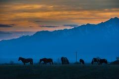 美丽的海湾马牧群在山吃草在日落,惊人的行家晴朗的自然本底 免版税库存照片