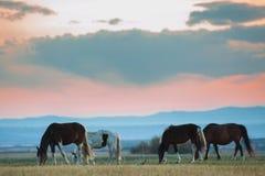 美丽的海湾马牧群在山吃草在日落,惊人的行家晴朗的自然本底 图库摄影