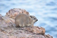 美丽的海滩在有一逗人喜爱的dassie的赫曼努斯坐一个岩石在南非 图库摄影