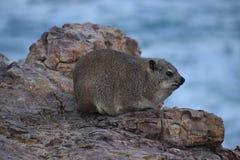 美丽的海滩在有一逗人喜爱的dassie的赫曼努斯坐一个岩石在南非 免版税图库摄影