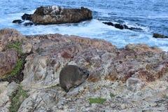 美丽的海滩在有一逗人喜爱的dassie的赫曼努斯坐一个岩石在南非 库存图片