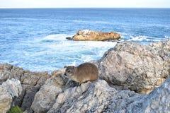 美丽的海滩在有一逗人喜爱的dassie的赫曼努斯坐一个岩石在南非 免版税库存图片