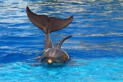 美丽的海豚 免版税库存照片