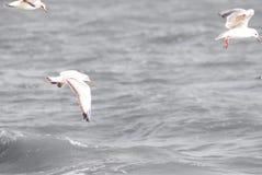 美丽的海鸥 库存图片